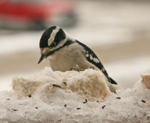 downy-woodpecker1