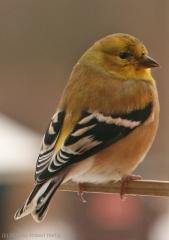 goldfinch11