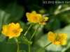 marsh-marigold_2
