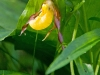 small-yellow-ladyslipper_11