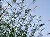 fen-grass1_0