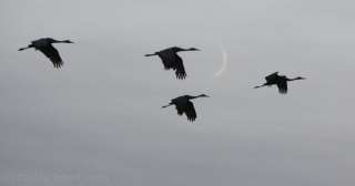cranes-and-moon_1